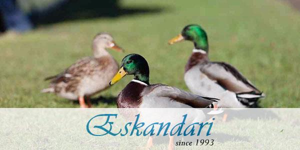 انواع نژاد اردک اهلی ایرانی