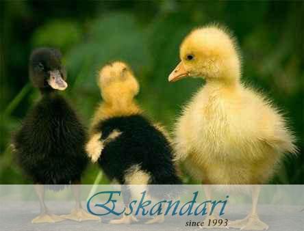 پرورش جوجه های اردک