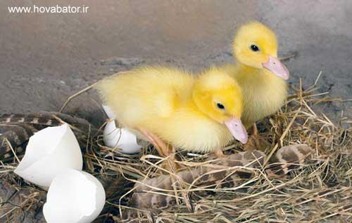 جوجه کشی از تخم نطفه دار اردک
