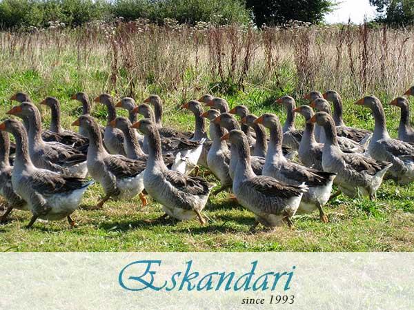 پرورش اردک گوشتی بدون استفاده از آب