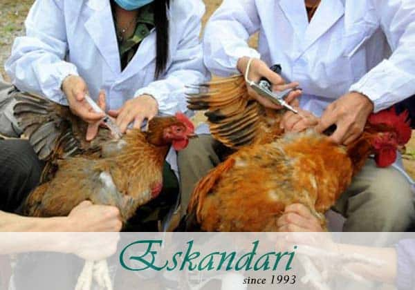 بیماری های مرغی در فصل تابستان و پیشگیری