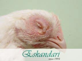 روش های گسترش بیماری های مرغ