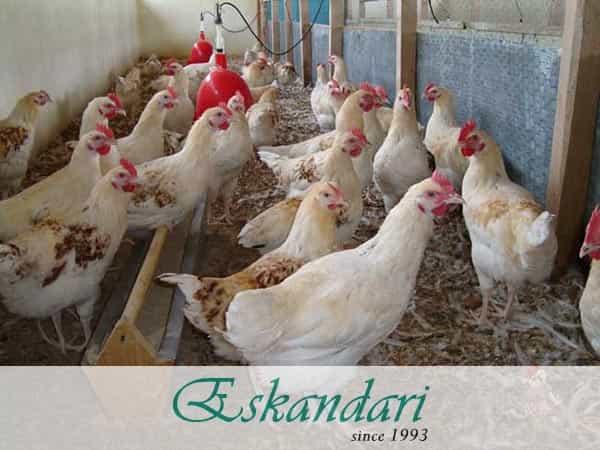 تغذیه ایمنی در مرغ