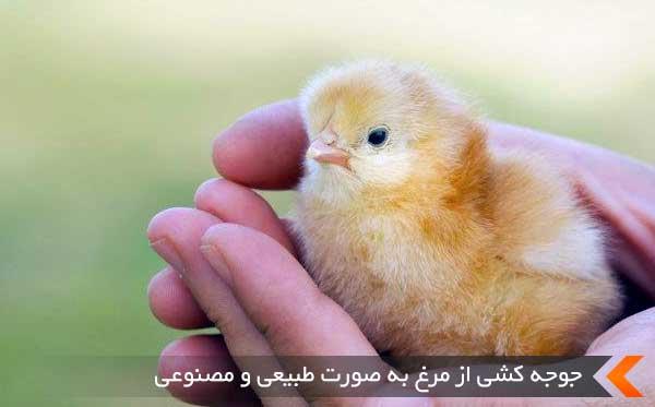 جوجه کشی از مرغ به صورت طبیعی و مصنوعی