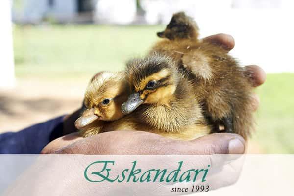 پرورش اردک در خانه