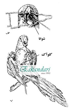 تزریق داروی عضلانی به طوطی