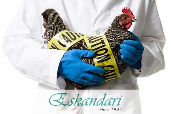 بیماری آبله مرغی در پرندگان
