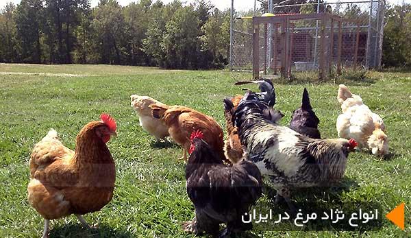 انواع نژاد مرغ در ایران