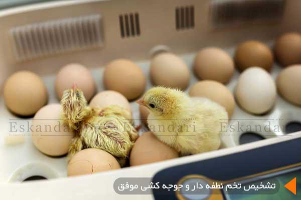 تشخیص تخم نطفه دار و جوجه کشی موفق