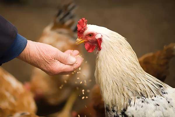 تولید تخم نطفه دار