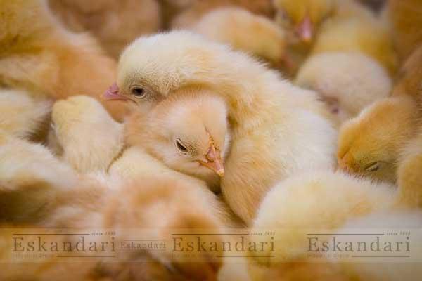پرورش مرغ و جوجه بومی