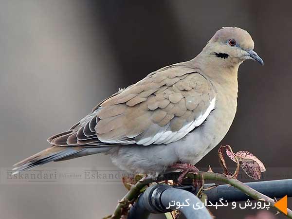 پرورش و نگهداری کبوتر