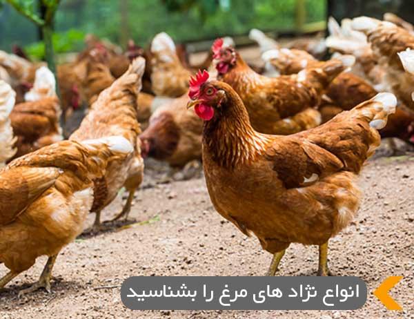 انواع نژاد های مرغ را بشناسید