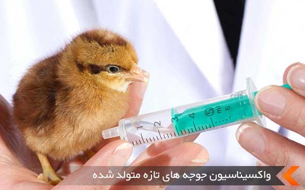 واکسیناسیون جوجه های تازه متولد شده