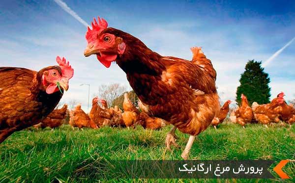 پرورش مرغ ارگانیک