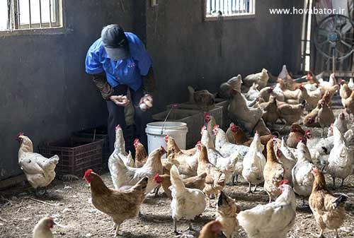 پرورش مرغ در مزرعه