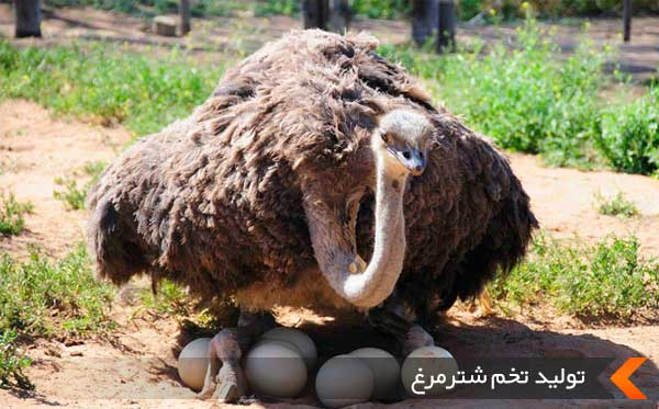 تولید تخم شترمرغ