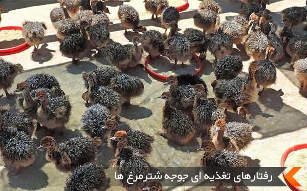 رفتارهای تغذیه ای جوجه شترمرغ ها