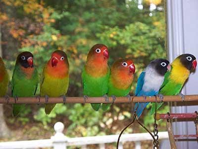 طوطی های برزیلی