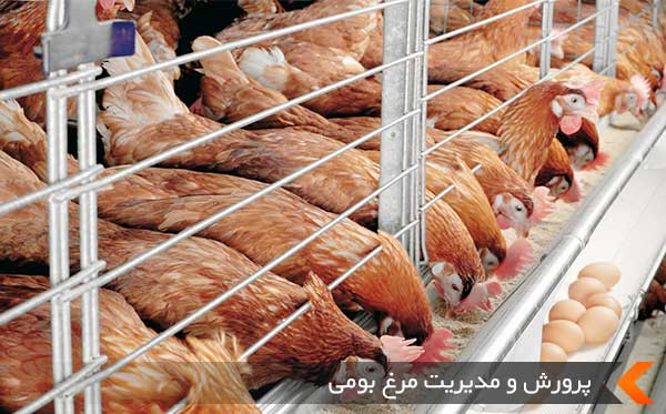 پرورش و مدیریت مرغ بومی