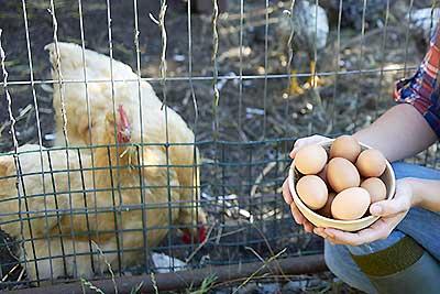 جمع آوری تخم مرغ