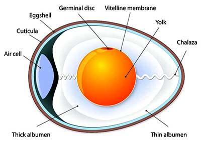ساختار تخم مرغ