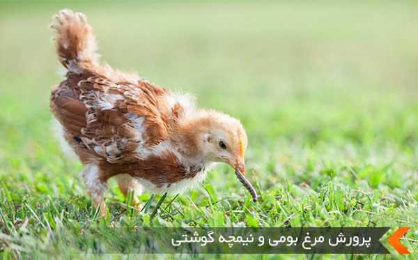 پرورش مرغ بومی و نیمچه گوشتی