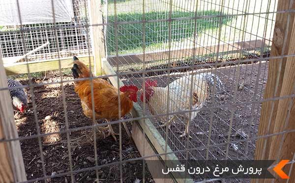 پرورش مرغ درون قفس