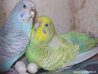 جوجه درآوری مرغ های عشق
