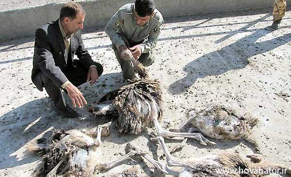 خسارت پرورش شترمرغ
