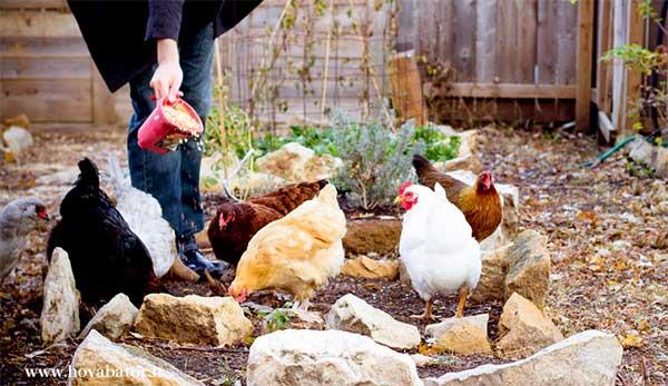 اثر توراث در مرغ تخمگذار