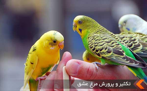 تکثیر و پرورش مرغ عشق