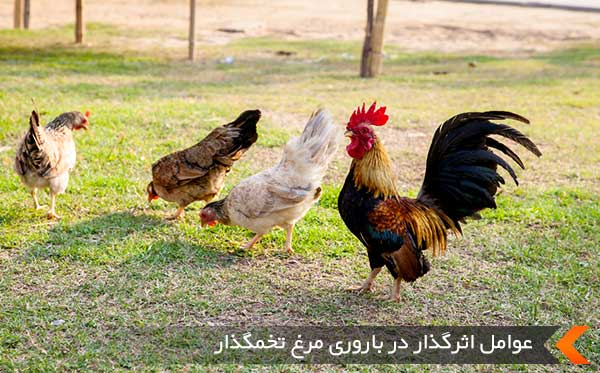 عوامل اثرگذار در باروری مرغ تخمگذار