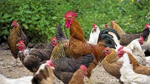 فصل تخمگذاری مرغ