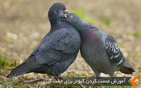 آموزش مست کردن کبوتر