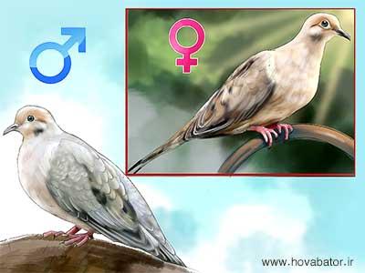 تشخیص کبوتر نر از ماده