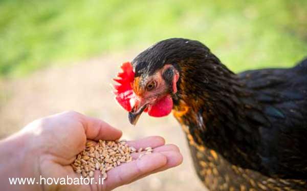 خوراک و تغذیه خروس و مرغ لاری