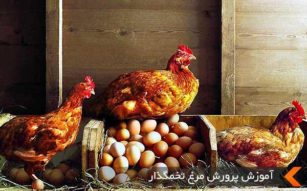 آموزش پرورش مرغ تخمگذار