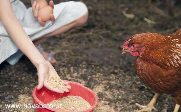 راهکارهایی برای شناسایی مرغ تخم خوار در بین گله