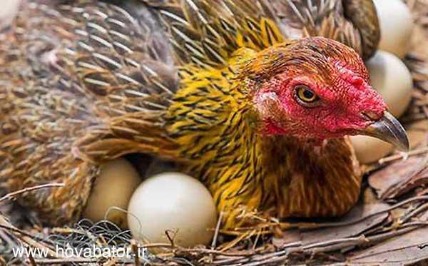 راهکارهای مفید برای جلوگیری از کرچ شدن مرغ