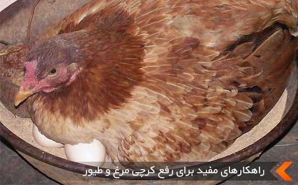 راهکارهای مفید برای رفع کرچی مرغ و طیور