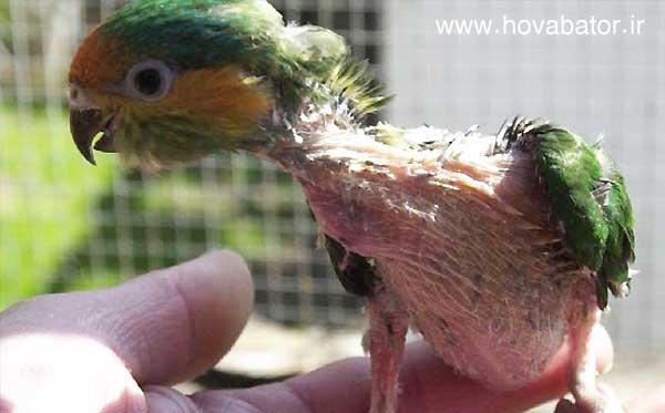 نشانه ها و علائم ظاهری بیماری در طوطی برزیلی