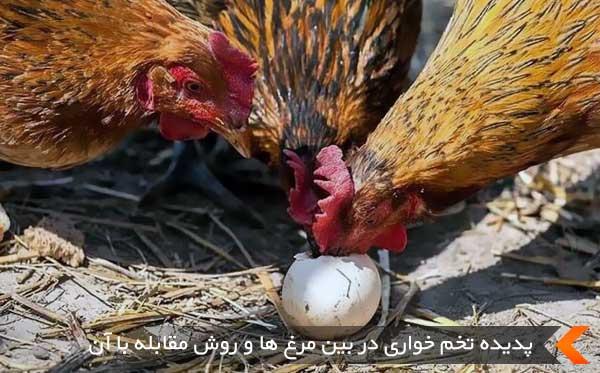 پدیده تخم خواری در بین مرغ ها و روش مقابله با آن